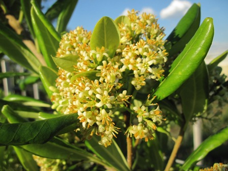 pittosporum-viridiflorum